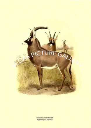 THE ROAN ANTELOPE - Hippotragus Equinus